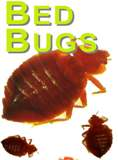 Bed Bugs What They Are and What To Do About Them