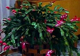 Flowering Christmas Cactus