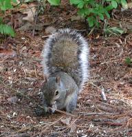Squirrel at Uplands Reserve