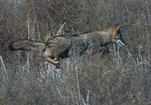 Coexisitng with Coyotes