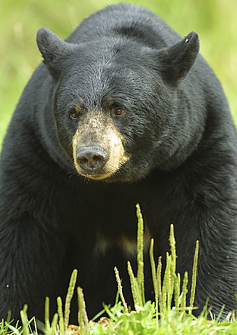 Black Bears and Hunterdon