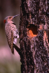 Woodpeckers Of New Jersey @ Hunterdon County Arboretum