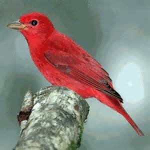 The Summer Tanager is one of our targets for the April trip.