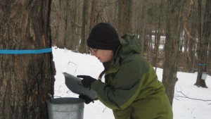 Maple Sap Collection