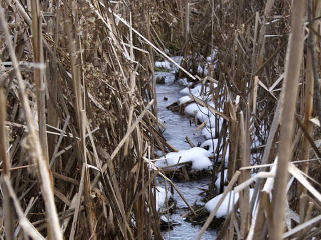 Pond Runoff in the reeds and Cattails