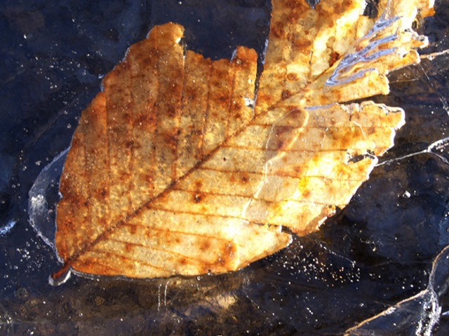 An American Beech leaf frozen in the ice.