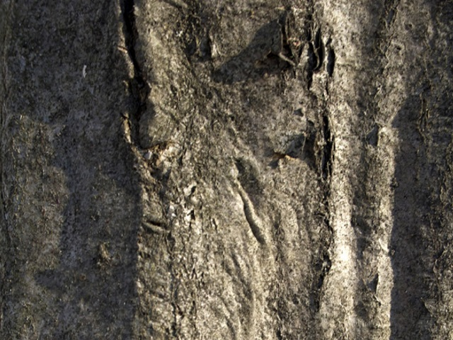 Musclewood Tree Bark.