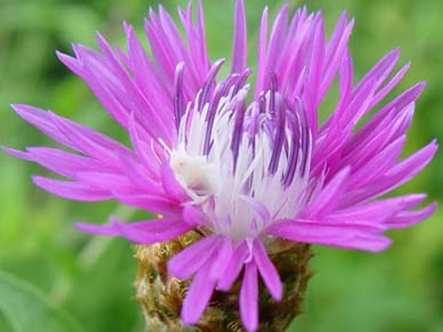 Spoted Knapweed