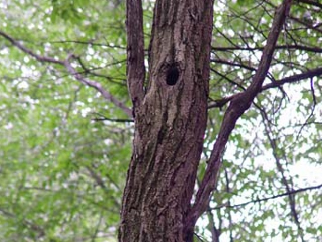 Northern Flicker Nesting Cavity